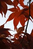 Красные листья японского клена в утре стоковое фото rf