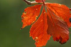 Красные лист осени в фронте Стоковое Изображение