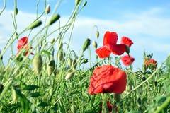 Красные маки в зеленом поле весной Стоковое Изображение