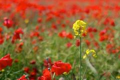 Красные маки в одичалых полях мака Стоковые Изображения RF