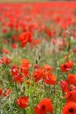 Красные маки в одичалых полях мака Стоковая Фотография RF