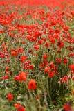 Красные маки в одичалых полях мака Стоковое фото RF