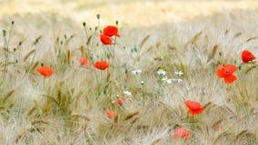 Красные маки в поле ячменя Стоковые Изображения
