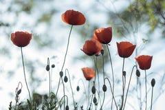 Красные маки в предпосылке backlight красивой Стоковые Фотографии RF