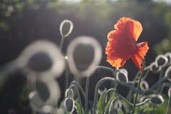 Красные маки в цветени Стоковое Фото