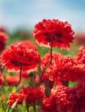 Красные маки гвоздики зацветая весной Стоковая Фотография