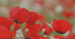 Красные маки зацветают на поле, конце-вверх видеоматериал
