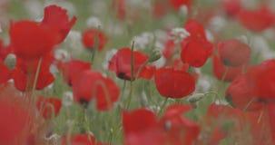 Красные маки зацветают на поле, конце-вверх сток-видео