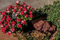 Красные маки, зеленые листья, утес пустыни и песок Стоковые Фотографии RF