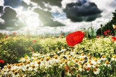 Красные маки и маргаритки на поле лета Стоковое Фото