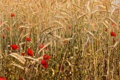 Красные маки и пшеничное поле Стоковые Фотографии RF