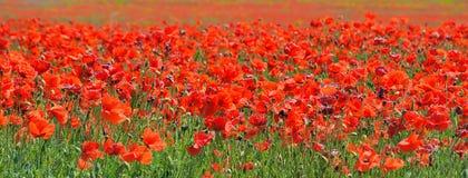 Красные маки которые зацветают в поле стоковые фотографии rf