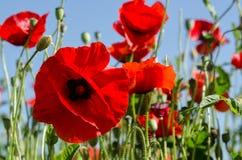 Красные маки на голубой предпосылке Стоковые Фотографии RF
