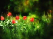 Красные маки на темной нерезкости зеленеют предпосылку стоковая фотография rf