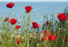 Красные маки приближают к морю Стоковые Фото