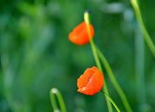 Красные маки с зеленой предпосылкой в лугах Украины Стоковые Фотографии RF