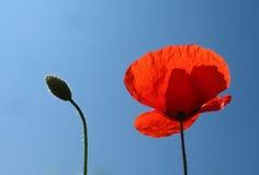 Красные мак и бутон против голубого неба Стоковое Фото