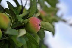 Красные малые яблоки на ветви Стоковые Фотографии RF