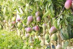 Красные мангоы в саде Стоковое фото RF