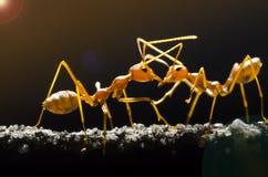 Красные муравеи Стоковое Изображение