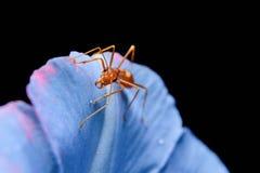 Красные муравеи Стоковое фото RF