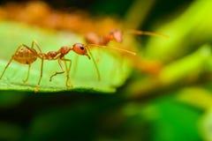 Красные муравеи Стоковые Изображения