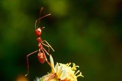 Красные муравеи Стоковое Фото