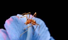 Красные муравеи Стоковые Фото