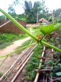 Красные муравьи на чечевицах Стоковое Фото