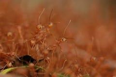 Красные муравьи Стоковое Изображение