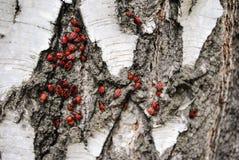 красные насекомые солдат на коре березы стоковые изображения