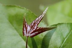 Красные нежные лист Стоковое Фото