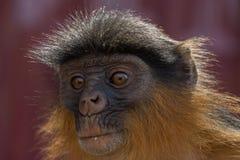 Красные обезьяны Colobus в Bigilo Forest Park, Гамбии стоковая фотография rf