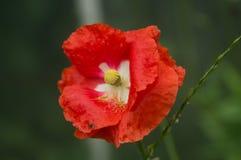 Красные обои лета цветка стоковая фотография rf