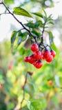 Красные одичалые ягоды с капельками воды Стоковая Фотография