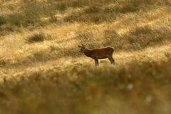 Красные олени во время колейности стоковая фотография rf