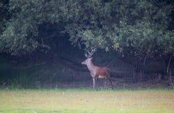 Красные олени в пуще стоковая фотография rf