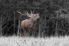 Красные олени в сопрягая сезоне Стоковые Изображения RF