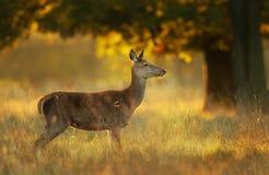 Красные олени задние на восходе солнца стоковые изображения rf