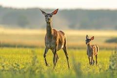 Красные олени задние с икрой идя на заход солнца стоковые изображения rf