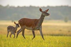 Красные олени задние с икрой идя на заход солнца стоковое изображение