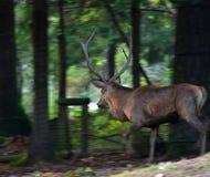 Красные олени мужчина ЗООПАРК Словения стоковая фотография