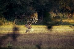 Красные олени - прокладывать борозды сезон стоковое изображение