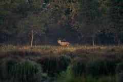 Красные олени - прокладывать борозды сезон стоковые изображения rf