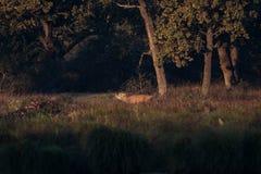 Красные олени - прокладывать борозды сезон стоковые изображения