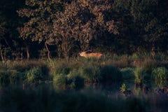 Красные олени - прокладывать борозды сезон стоковое фото