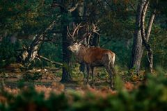 Красные олени, прокладывать сезон, Словакия Рогач оленей, ревет величественное мощное взрослое животное вне древесины, большого ж стоковое фото rf