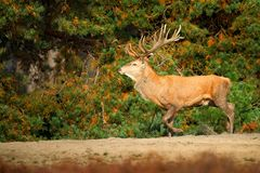 Красные олени, прокладывать сезон, Hoge Veluwe, Нидерланды Рогач оленей, ревет величественное мощное взрослое животное вне древес стоковые фотографии rf