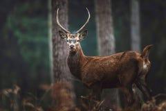 Красные олени с остроконечными antlers в Рейн-западе леса осени северном стоковые изображения