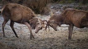 Красные олени фиксируя antlers стоковое фото